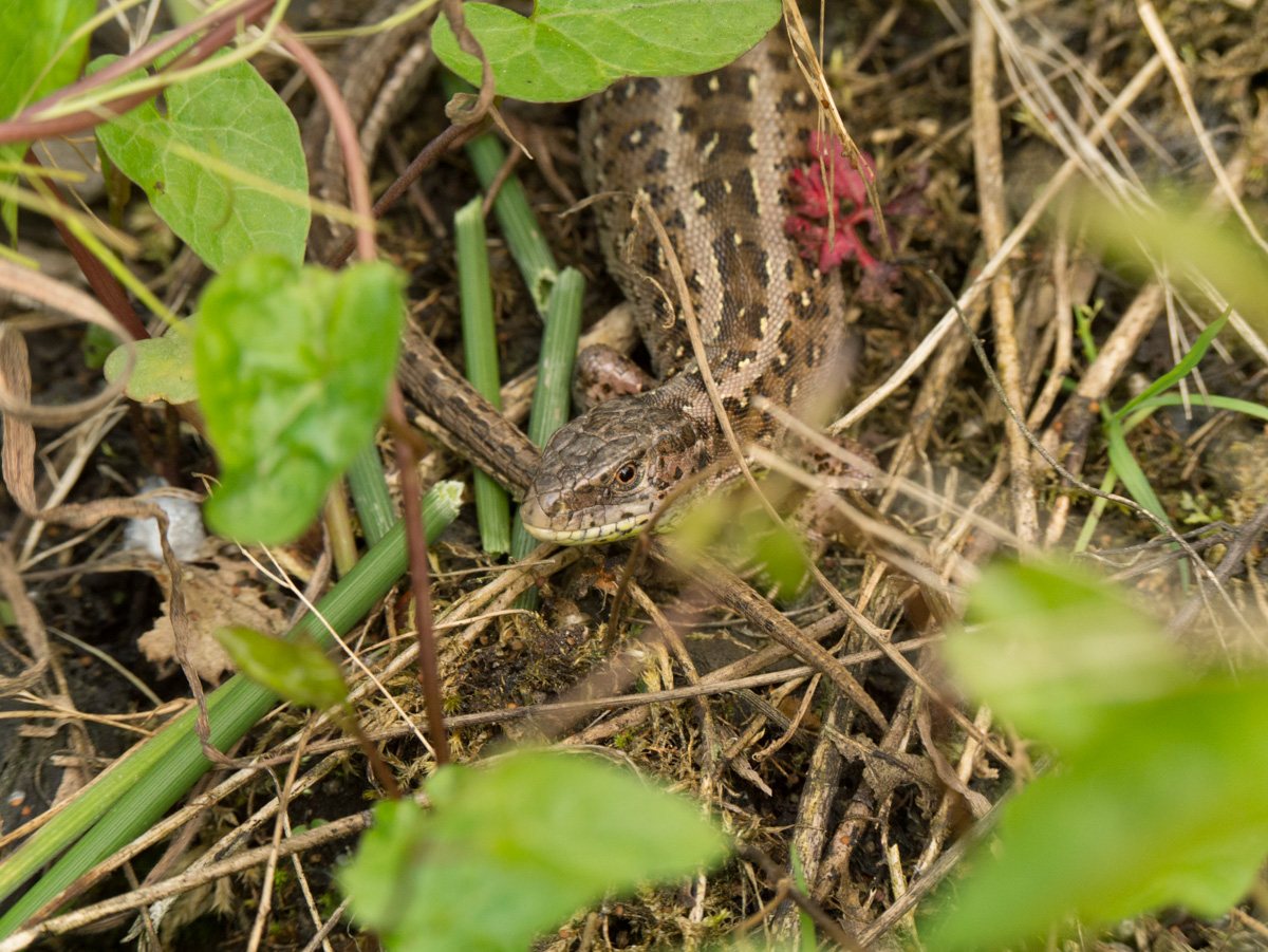 Zauneidechse (Weibchen)